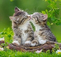 Kissing buddies. Two cute tabby kittens kiss on a branch on the floor.