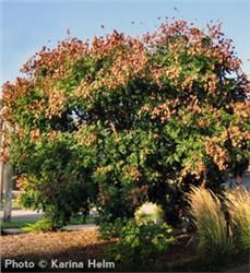TREES: Goldenraintree Fast Growing Tree Tough and Durable Tree: Tolerates Air Pollution and Drought Adapts to many Soil Types Late Blooming Yellow Flowers Grows to with Spread Trees And Shrubs, Flowering Trees, Garden Trees, Garden Plants, Golden Rain Tree, Arbor Day Foundation, Trees For Front Yard, Privacy Trees, Acid Loving Plants