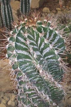 Star Cactus (Astrophytum ornatum) - Buy it Now! Pictures Of Succulents, Growing Succulents, Cacti And Succulents, Planting Succulents, Cactus Plants, Kinds Of Cactus, Cactus Types, Weird Plants, Cool Plants