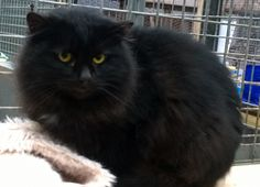 Sweep is a long haired feral cat with a fierce attitude, Sooty and Sweep are a pair of feral girls with a fierce attitude to humans.  They will leave you alone if you leave them alone, they just need shelter, food and a lovely place to explore, catch mice and enjoy themselves.