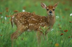fawns | fawns Pictures, Photos & Images