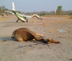 Giraffe Plane Crash - having a laugh, serious lessons at learntofly.co.nz