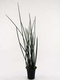 サンスベリア マニアック・コレクション ②   プロトリーフの観葉植物ブログ サンスベリア・バキュラリス Sansevieria bacularis