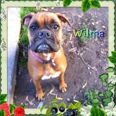 Wilma Dog kennels, Melbourne, victoria, healesville, boxer