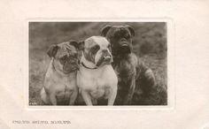 THREE BULLDOGS ~ ENGLAND, IRELAND AND SCOTLAND OLD REAL PHOTO postcard