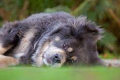 Do Khyi, Tibet Dogge, Portrait