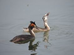 crested grebes, adult and young (Alsace)