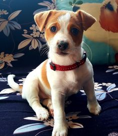 Cute Little Puppies, Cute Puppies, Dogs And Puppies, Baby Dogs, Pet Dogs, Dog Cat, Doggies, Jack Russell Puppies, Jack Russell Terrier