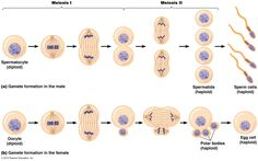 Siklus dan pembelahan sel tutor biologi pinterest dan some questions about the stages of meiosis germ cell division to create gametes and mitosis somatic body cell division ccuart Gallery