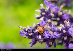 #Ladybug On #Lavender @Alamy #Alamy @AlamyContent #macro #nature #closeup #detail #flowers #purple #green #red #insects #stock #photo #download #portfolio #hires