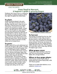 How to grow grapes from sowing to harvest. Grape seed growing guide for all gardeners. Sowing, watering, location, fertilizing and harvest. Backyard Vegetable Gardens, Veg Garden, Fruit Garden, Garden Care, Garden Seeds, Edible Garden, Garden Plants, Growing Gardens, Growing Plants