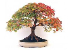 Bonsai Plr Articles v5 - Download at: http://www.exclusiveniches.com/bonsai-plr-articles-v5.html