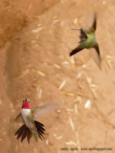 mis fotos de aves: Colibrí Garganta de Rubí [Archilochus colubris] Ru...