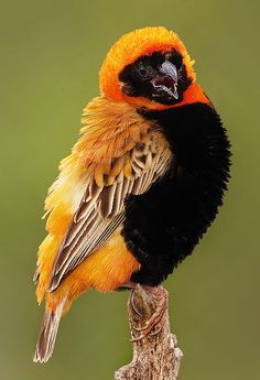 The Southern Red Bishop or Red Bishop (Euplectes orix) is a small passerine bird belonging to the bishop and widowbird genus Euplectes in the weaver family Ploceidae. It is common in wetlands and grassland in Africa south of the Equator. North of the Equator, it is replaced by the Northern Red Bishop or Orange Bishop (E. franciscanus) which was formerly regarded as a subspecies of this species.