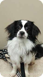 6/6/16 Pictures of Marley a Cavalier King Charles Spaniel Mix for adoption in Lisbon, IA who needs a loving home.
