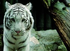 ZOO Liberec - Czech Republic Czech Republic, Big Cats, Trip Advisor, Zoo, Tigers, Live, Bohemia, Animales