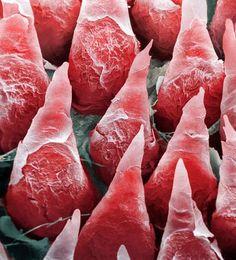 Human tongue magnified