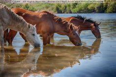 Salt River Mustangs, Arizona