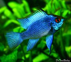 "Premium Electric Blue Ram Cichlid, 1"" to 1.5"" long"