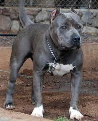 Resultado de imagen para pitbull blue