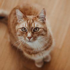 💛 Der Blick, den mir das Schöni zuwirft, wenn ich das Futter nicht schnell genug serviere 😂  Begleitet wird der durchdringende Blick natürlich von viel Geraunze 😂 Kennen wohl alle Katzenmamis und Daddys, oder? 🙈⠀ —————————————————————————⠀ #kittensdaily #meows #9cattagram #kittys #cats_today #happycats #catloversworld #cutecatskittens #pleasantcats #balousfriends #bestmeow #cutecats #lovemycat #cats_mylove #happycatclub  #catsofig #meowdels #katzenleben #purrpurrpurr #savеonandhomeaton… Cats, Animals, Instagram, Gera, Gatos, Animales, Animaux, Animal, Cat
