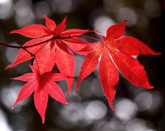 watercolor japanese maple leaf - Google Search