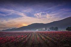 Torres - Vineyards