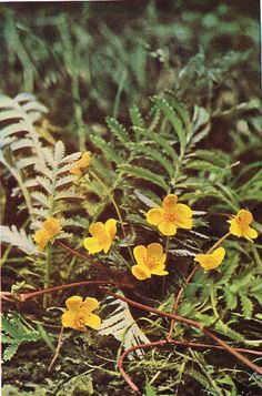 Silverweed - Antique 1912 Botanical Wild Flower Print by H Essenhigh Corke