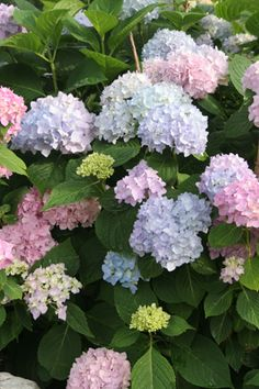 Endless Summer Hydrangea Is My Favorite Variety So Vintage And The Pink Blue Tones Are Beautiful They Like Acidic Fertilizer To Keep Color