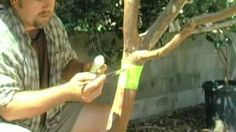 Organic Ant Control For Fruit Trees, via YouTube.