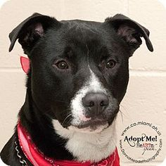 Adopted! VERY URGENT!  I am at a kill shelter in Troy, OH - Border Collie/Pit Bull Terrier Mix. Meet Cooper, a dog for adoption. http://www.adoptapet.com/pet/12589857-troy-ohio-border-collie-mix