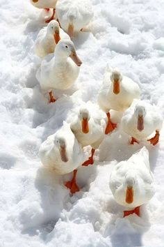 """chasingrainbowsforever: """" Colors ~ Orange and White """" Cute Baby Animals, Farm Animals, Animals And Pets, Pretty Birds, Beautiful Birds, Cute Ducklings, Raising Ducks, What The Duck, Tier Fotos"""