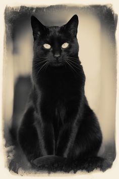 Onze Zola - black cat