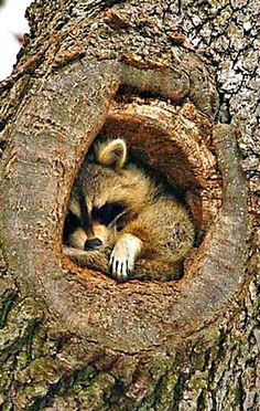 Just a little Snug ~ Raccoon has found a Cosy Home ....