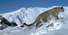 The snow leopard's mountain ecosystem is particularly vulnerable to a changing climate. Climate change is emerging as a considerable threat to snow leopards and the ecosystems they call home. A recent report concludes that up to a third of today's snow leopard habitat could be lost or fragmented if no decisive action is taken.