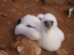 Only my favourite animal in the world - it's a baby Blue-Footed Booby!!!