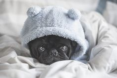 This week's pug photo challenge is warmth. So let's see the warmth in your photos whether it be the warmth of a bed blankets sun or whatever else. Just tag your photos #tpdwarmth #thepugdiary