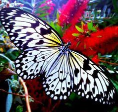 Black Butterfly: Taken at butterfly world in Cape Town