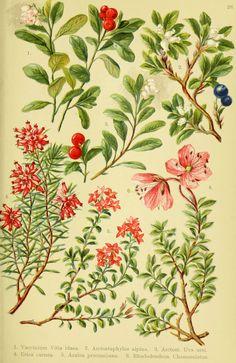 Alpen-Flora für Touristen und Pflanzenfreunde Stuttgart :Verlag für Naturkunde Sprösser & Nägele,1904. biodiversitylibrary.org/page/10384088
