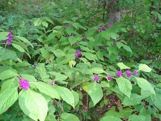 Scientific name: Callicarpa americana, Callicarpa japonica Abundance: Plentiful What: ripe berries How: raw, preserves Where: . Plants, Shrubs, Edible Landscaping, Edible Plants, Medicinal Plants, Purple Garden, Wild Edibles, Understory Plants, Native Plants
