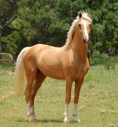 Beautiful Palomino