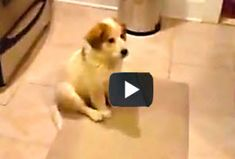 9 seconds + 1 tiny puppy = 1 big laugh  --  Yep, this video is sure short but sweet–just 9 seconds. This puppy reminds me of my dog when he was a puppy who was first learning how to catch. Yeah he was just as pathetic. It took him over a month to finally catch a ball. But I bet this little guy's gonna practice and practice and get better and better. But for now it sure is fun watching him flop and fail in such an ultra cute manner.