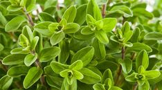 La maggiorana cresce spontanea nei terreni più esposti al sole: i suoi fiori e foglie sono ricchi di proprietà utili a combattere lo stress e saporiti i piatti