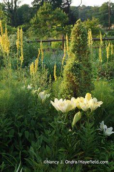 'Freya' LA Hybrid lily (Lilium) with 'Gold Cone' juniper (Juniperus communis) and black mullein (Verbascum nigrum)