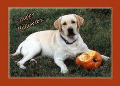 Halloween Yellow Labrador Costume Party Greeting Card  #Card #Costume #Greeting #Halloween #Labrador #Party #PetHalloweenCostume #Yellow Halloween Spirit