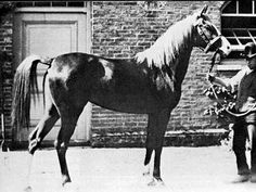 Rose of Sharon (Habdan x Omayma) Imported as an aged mare to the US Spencer Borden, is the line foundress of a remarkable world-wide dynasty and is, without question, one of the greatest mares ever imported to the United States.
