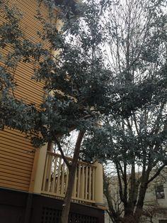 Alpine Cider Gum tree