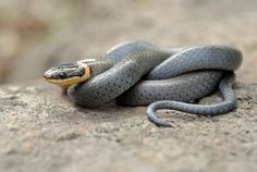 The northern ring-necked snake is a small thin snake. It has a dark slate gray body with a yellow ring around its neck. Its belly is yellow to orange.