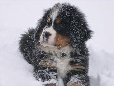 Bernese Mountain dog the snow..lov'n it! My boy!
