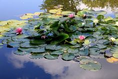 Nimpheas II Water Lilies Painting, Fruit Painting, Claude Monet, Monet Garden Giverny, Lotus Garden, Carpe Koi, Water Pictures, Lily Pond, Seen
